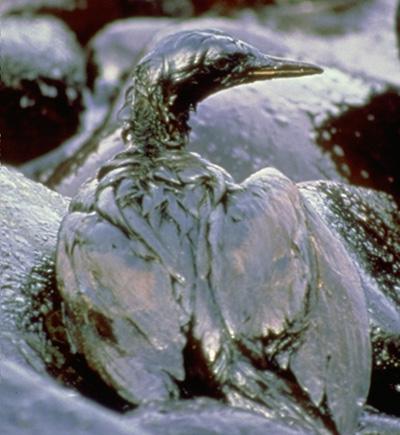 Ptica u nafti 1